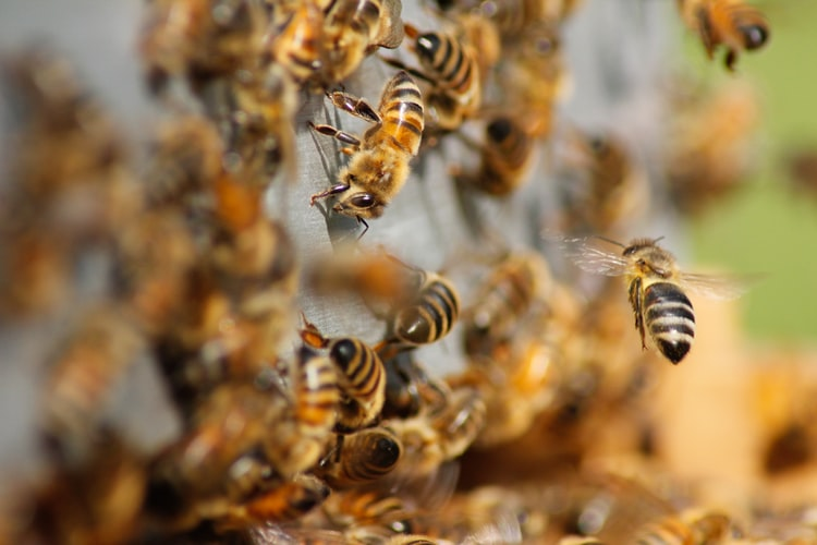 Types of Bees: Its Contribution Towards Society