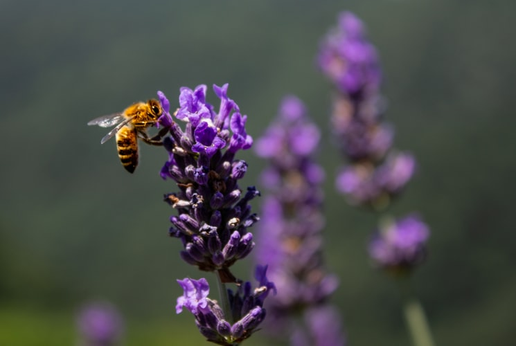 Lavender Honey And Its Superior Qualities Over Others