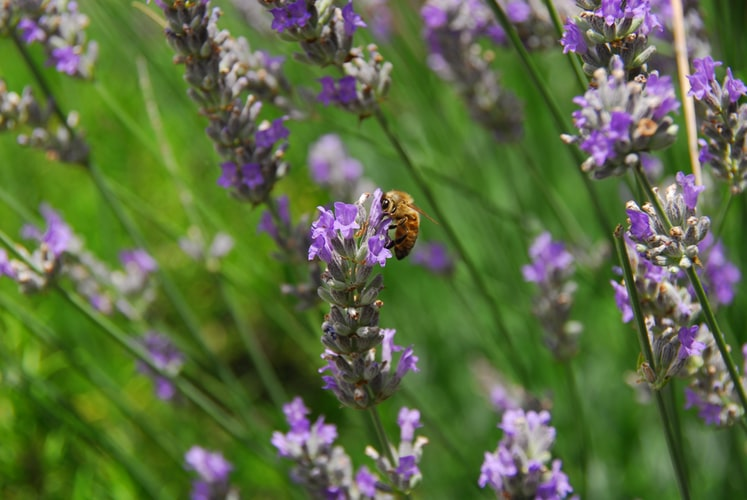 Lavender Honey Its Superior Qualities Over Others
